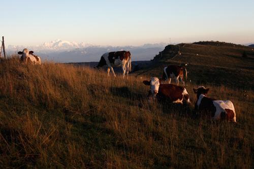 Vache montbéliarde Fromage Epoisses